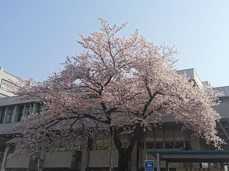 区役所 桜 (2)